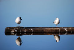 Two seagulls on floating tree at sea Stock Photos