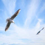 Two seagulls fly in blue cloudy sky Stock Photos
