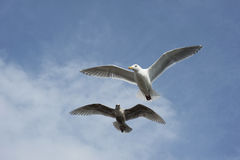 Two seagulls flying Stock Photo