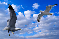 Two seagulls flying Royalty Free Stock Image