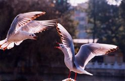 Two seagulls flying face to face Royalty Free Stock Image