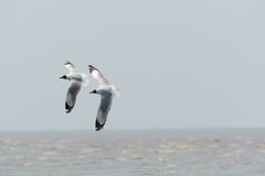 Two seagulls flying. Royalty Free Stock Photos