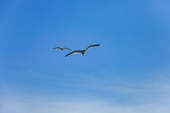 Two seagulls flying high in the blue air, waving their wings ove Royalty Free Stock Photography
