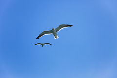 Two seagulls flying high in the blue air, waving their wings ove Stock Images