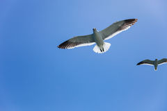 Two seagulls flying high in the blue air, waving their wings ove Royalty Free Stock Image