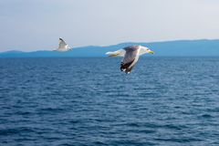 Two seagulls flying low over the water surface Stock Images