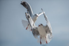 Two Seagulls flying maneuvers Stock Photo