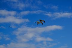 Two seagulls flying over a blue sky. stock image