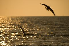 Two seagulls. Flying over sea on a sunset Royalty Free Stock Photography