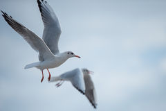 Two Seagulls flying passing by in the cloudy sky. Pair of Seagulls bird flying in a group in front of the cloudy sky Stock Image
