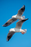 Two Seagulls flying passing by. Pair of Seagulls bird flying in a group in front of the blue sky Royalty Free Stock Image
