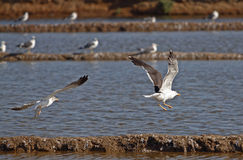 Two seagulls flying in the shore near Tavira Royalty Free Stock Image
