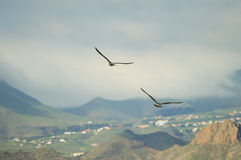 Two seagulls flying side by side Stock Images