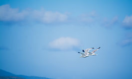 Two seagulls flying in the sky Royalty Free Stock Photos