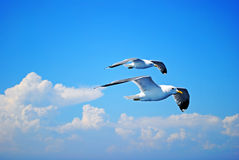Two seagulls flying in the sky Stock Image