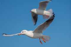 Two Seagulls flying by. Two Seagulls with spread wings flying by in front of the clear sky Stock Photos