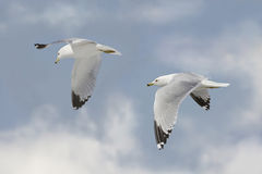 Two Seagulls Royalty Free Stock Image