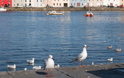 Two Seagulls in Galway Ireland royalty free stock photos