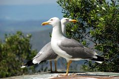 Two Seagulls, Gibraltar. Royalty Free Stock Photos