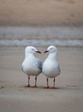 Two seagulls having conversation on a beach Stock Photos