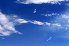 Two seagulls hover in blue sky with sunlight clouds Royalty Free Stock Images