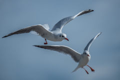 Two Seagulls landing maneuvers. Two Seagulls hovering with landing maneuvers Royalty Free Stock Photo