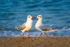 Two seagulls in love Royalty Free Stock Photography