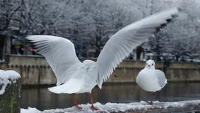 Two seagulls in love at Zurich stock photos