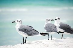 Two seagulls and one aside on the seashore Stock Images