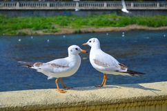 Two seagulls on the parapet by the river stock photo