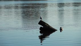 Two seagulls in the pile. Birds on the morning river stock footage