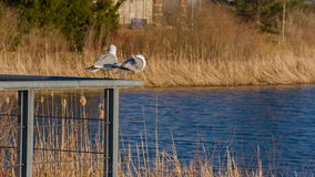 Two Seagulls on the pond. Two Seagulls on the bridge in summer. 14bit raw video stock footage