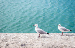 Two seagulls relaxing on harbour wall Royalty Free Stock Image