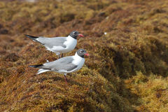 Two seagulls resting on the seaweed. 2 seagulls resting on the seaweed along the Gulf of Mexico royalty free stock image