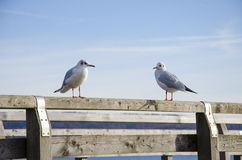 Two seagulls resting on the wooden pier on a sunny day with the. Blue clear sky with some cloud in the morning Royalty Free Stock Photos