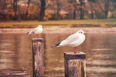 Two seagulls resting on wooden poles Royalty Free Stock Image