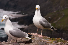 Two seagulls. At a rock Royalty Free Stock Images