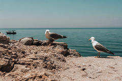 Two Seagulls on a rock Stock Photos