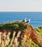 Two seagulls on a rocky shore in the grass. Royalty Free Stock Photos