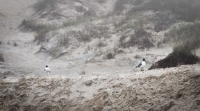 Two seagulls on sand dunes on foggy morning Stock Photos