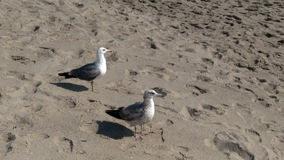 Two Seagulls On Sandy Beach Santa Monica California. Two Seagull Standing And Walking On Sandy Beach stock video footage