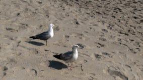 Two Seagulls On Sandy Beach Santa Monica California stock video footage