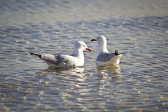 Two seagulls in the Sea Stock Images
