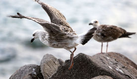 Two seagulls on the sea coast Royalty Free Stock Image