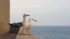 Two Seagulls On Sea Front Wall. Couple Of Seagulls Stand On The Concrete Wall Beside The Sea stock video