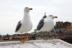 Two seagulls Stock Photography