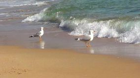 Two seagulls. On sea shore stock video footage