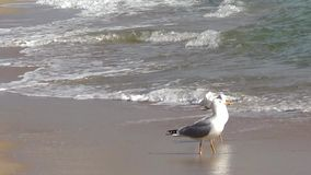 Two seagulls. On sea shore stock video
