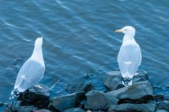 Two seagulls, seemingly talking to each other. Stock Photography