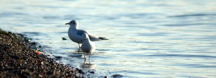 Two seagulls on the shore of a river pebble, standing in the water. The picture was taken in the daytime, on a warm autumn evening royalty free stock photos